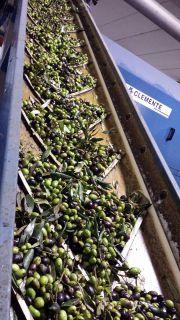 Olive pronte per la defogliazione