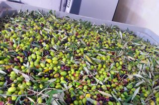 Olive appena raccolte